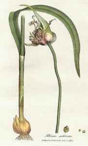 Allium_sativum_Woodwill_1793